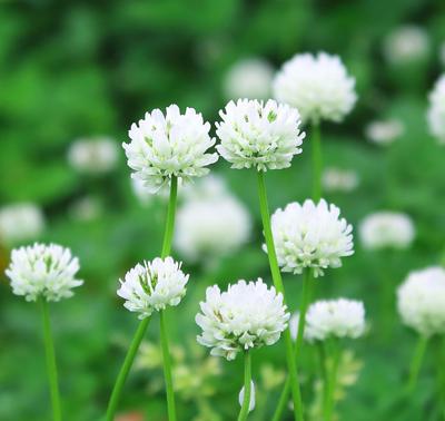 クロバー花イメージ
