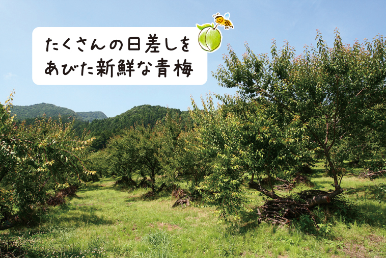 梅の産地、埼玉県寄居中間平